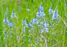 Meadow grass. Blue flowers against a background of lush green grass Stock Image