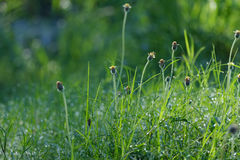 Meadow grass Royalty Free Stock Image