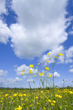 Meadow of grass and blooming summer buttercups under blue sky Stock Image