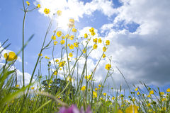 Meadow of grass and blooming summer flowers under blue sky Royalty Free Stock Images