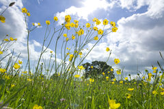 Meadow of grass and blooming summer flowers under blue sky Royalty Free Stock Image