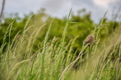 Meadow grass. Blowing wind bend blades of grass in field Stock Photography