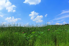 Meadow grass and  blue sky with white  clouds Royalty Free Stock Images