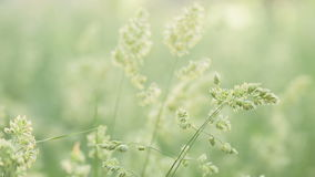 Meadow grass with bluegrass sway on the wind, stock video footage
