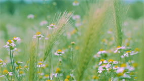 Meadow with grass and chamomile stock video