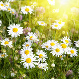 Meadow with grass and daisies and sunshine Stock Photography