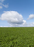 Meadow grass growing in field under blue sky Royalty Free Stock Photos