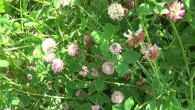 Meadow grass panorama using steadicam. Video footage motion camera. Meadow grass pink clover panorama using steadicam. HD video footage motion camera stock video