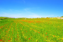 Meadow with grass, poppies and daisies Royalty Free Stock Photography