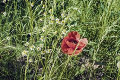Meadow grass and poppy Royalty Free Stock Photo