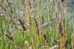 Meadow grass Royalty Free Stock Images