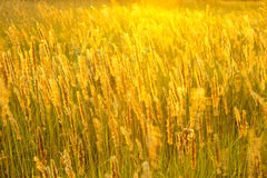 Meadow grass in sunny haze Royalty Free Stock Image