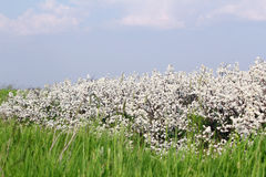 Meadow with grass and white flower Royalty Free Stock Image