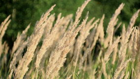 Meadow of grass on the wind.  stock video footage