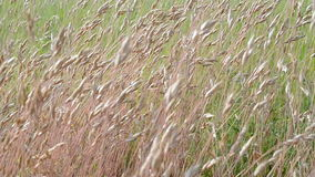 Meadow grass on the wind in sunny day, nature, Royalty Free Stock Image
