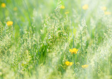 Meadow grass and yellow flower Royalty Free Stock Photos