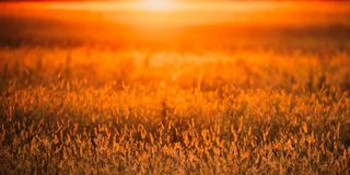 Meadow Grass In Yellow Sunlight Background. Autumn Season.  royalty free stock photos