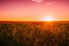 Meadow Grass In Yellow Sunlight At Later Summer Or Early Autumn. Season On Bright Sun At Horizon On Background. Sunset Sunrise Sky Over Field Meadow Grass. Warm stock photo