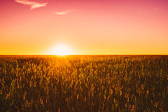 Meadow Grass In Yellow Sunlight At Later Summer Or Early Autumn. Season On Bright Sun At Horizon On Background. Sunset Sunrise Sky Over Field Meadow Grass. Warm royalty free stock photos