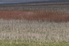 Meadow grasses beige to burgandy Stock Image