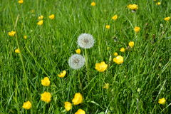 Meadow grasses Stock Images