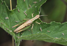 Meadow Grasshopper Stock Photography