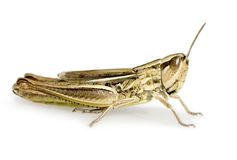 Meadow Grasshopper Stock Photography