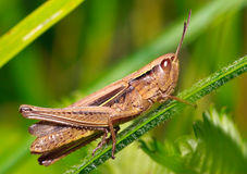 Meadow grasshopper Stock Image