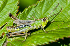 Meadow grasshopper Royalty Free Stock Photos