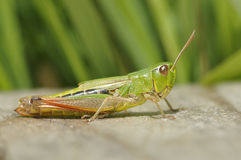 Meadow Grasshopper - Chorthippus parallelus Royalty Free Stock Images