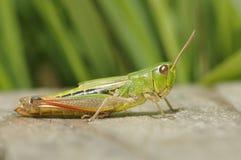 Meadow Grasshopper - Chorthippus parallelus Royalty Free Stock Images
