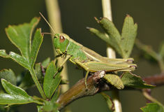 Meadow Grasshopper Royalty Free Stock Photography