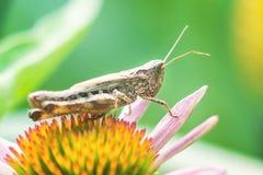 Meadow Grasshopper Chorthippus parallelus. Macro photograph of a brown grasshopper sitting on Echinacea purpurea flower eastern Stock Photography
