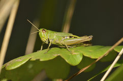 Meadow Grasshopper Royalty Free Stock Image