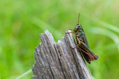 Meadow Grasshopper. Macro shot of a meadow grasshopper on a piece of wood. Chorthippus parallelus Royalty Free Stock Photo