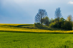 Meadow grassland green and yellow rape sunlight Stock Images