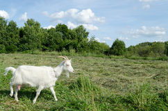 Meadow graze white goat nibble on grass. On summer day Stock Image