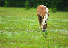 Meadow grazing horse Royalty Free Stock Photos