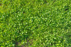 Meadow green grass Royalty Free Stock Photo
