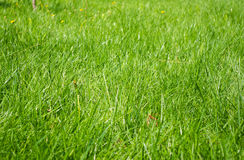 Meadow green grass Royalty Free Stock Image