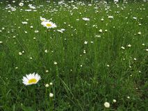 Meadow green grass and daisy moonflowers in spring with the calmness and relation with nature. Escape from stress royalty free stock photography