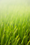 Meadow with green grass Royalty Free Stock Image
