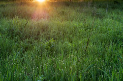 Meadow of green grass with sun beams. Early morning meadow with dew Royalty Free Stock Image