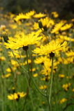 Meadow with hawkweed flowers Royalty Free Stock Images