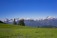 Meadow high in the mountains. With snowy mountains in the back and some fir-trees stock photography