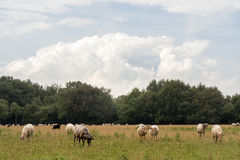 Meadow with horned sheep looking at camera Royalty Free Stock Image
