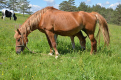 Meadow With Horse and Foal Royalty Free Stock Photography