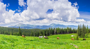 Meadow with horses in the Carpathian Mountains Royalty Free Stock Photo