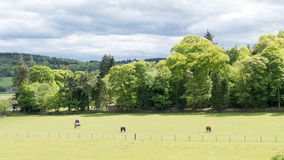 Meadow with horses Royalty Free Stock Photo