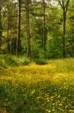 meadow jaskier Zdjęcie Royalty Free